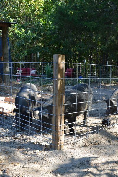 Building a Pig Pen with Hog Panels - J&J Acres