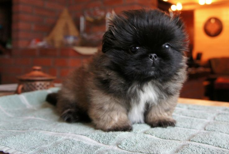 Pekingese puppy, also this is a squish-faced dogs blog!