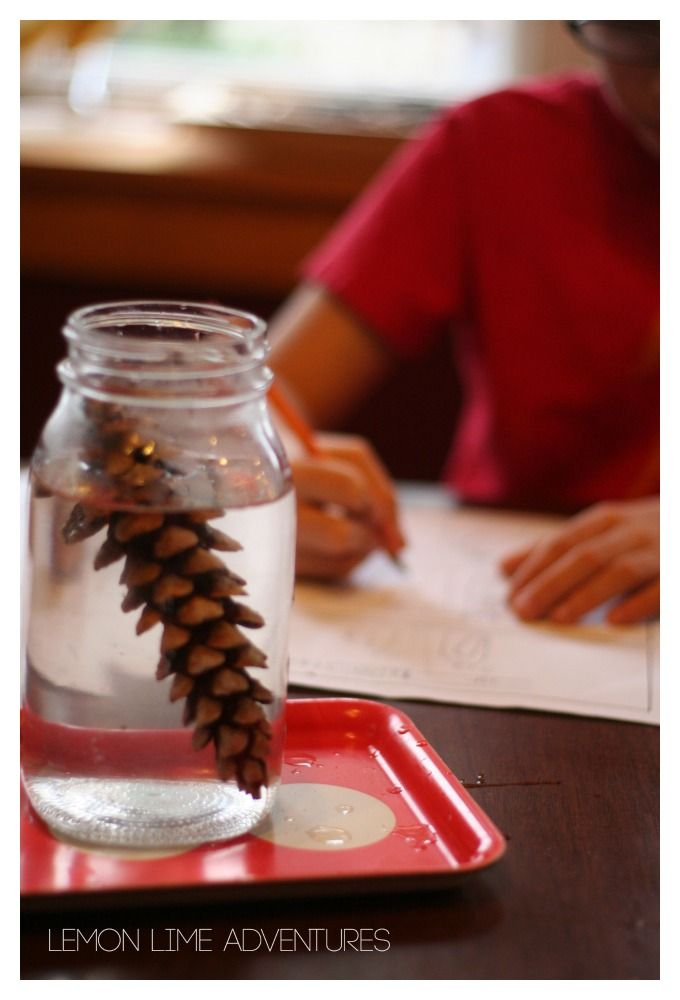 Why do Pinecones Open and Close? What a perfect fall science experiment for kids!