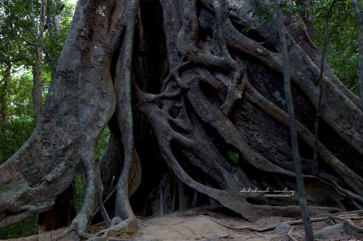 the massive roots of this thousand year old tree is at the border of the protected site of ritigala