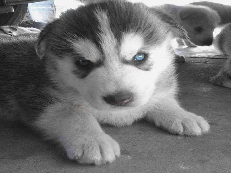 Baby Husky For Sale In Los Angeles Babyhusky Baby Husky For Sale