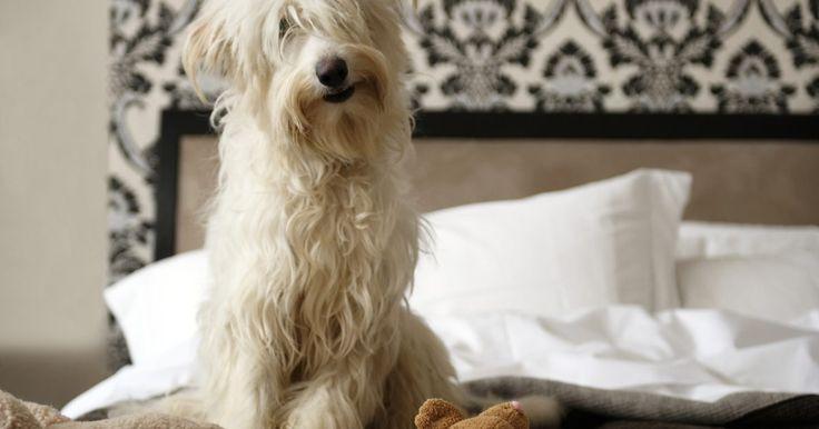 Sintomas de leishmaniose em cães. Transmitida por flebótomos (moscas da areia), a leishmaniose é uma doença de cães que pode causar uma série de problemas. Se não tomar cuidado, você também pode ser infectado através das pulgas de areia presentes no seu cão. Nos cachorros, a doença é muito difícil de tratar, porém alguns medicamentos podem ser bem eficazes, como o antimônio ...