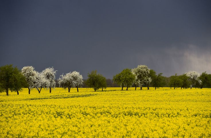 rapeseed field in the rain - Google Search