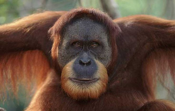 """ABD'nin Indianapolis şehrinde """"Rocky"""" adlı bir orangutanın, insan seslerini taklit edebildiği açıklandı. Orangutanın 500'den fazla insan sesini çıkarabildiği belirtildi. Detaylar ajanimo.com'da.. #ajanimo #ajanbrian #hayvan #animal"""
