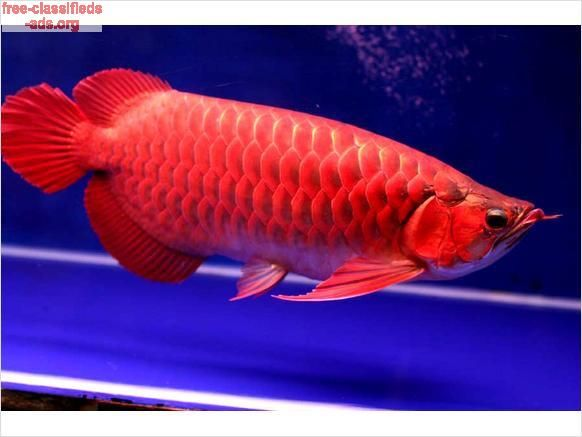 185 best images about usa classifieds on pinterest for Dragon fish for sale