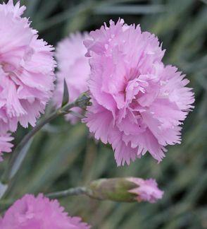Dianthus Plumarius U0027Rose De Maiu0027. Garden CatalogsSeed ...