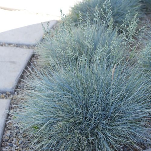 Festuca glauca 'Elijah Blue' throughout garden on far left and right sides.