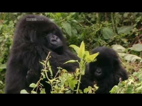 Sir David Attenborough recounts his very personal experiences with the mountain gorillas of Rwanda. Ever since they were discovered over a century …