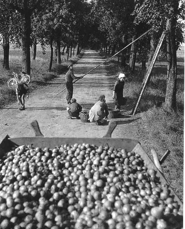 Robert Doisneau - L'Alsace // Cueillette des poires route d'Obersteinbach 1945
