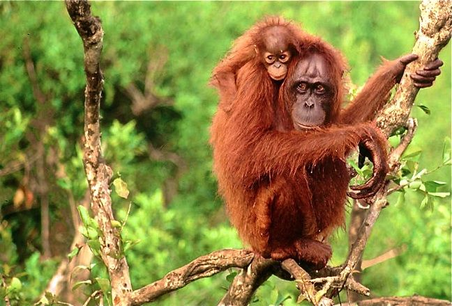 ENDANGERED SPECIES SPOTLIGHT: Bornean & Sumatran Orangutans