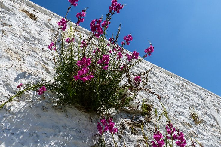 A flowering Snapdragon (Antirrhinum majus).