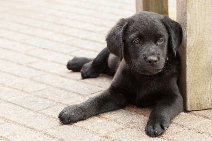 KNGF-pup Timmie: sinds 24-6-2015 onze nieuwe huisgenoot!