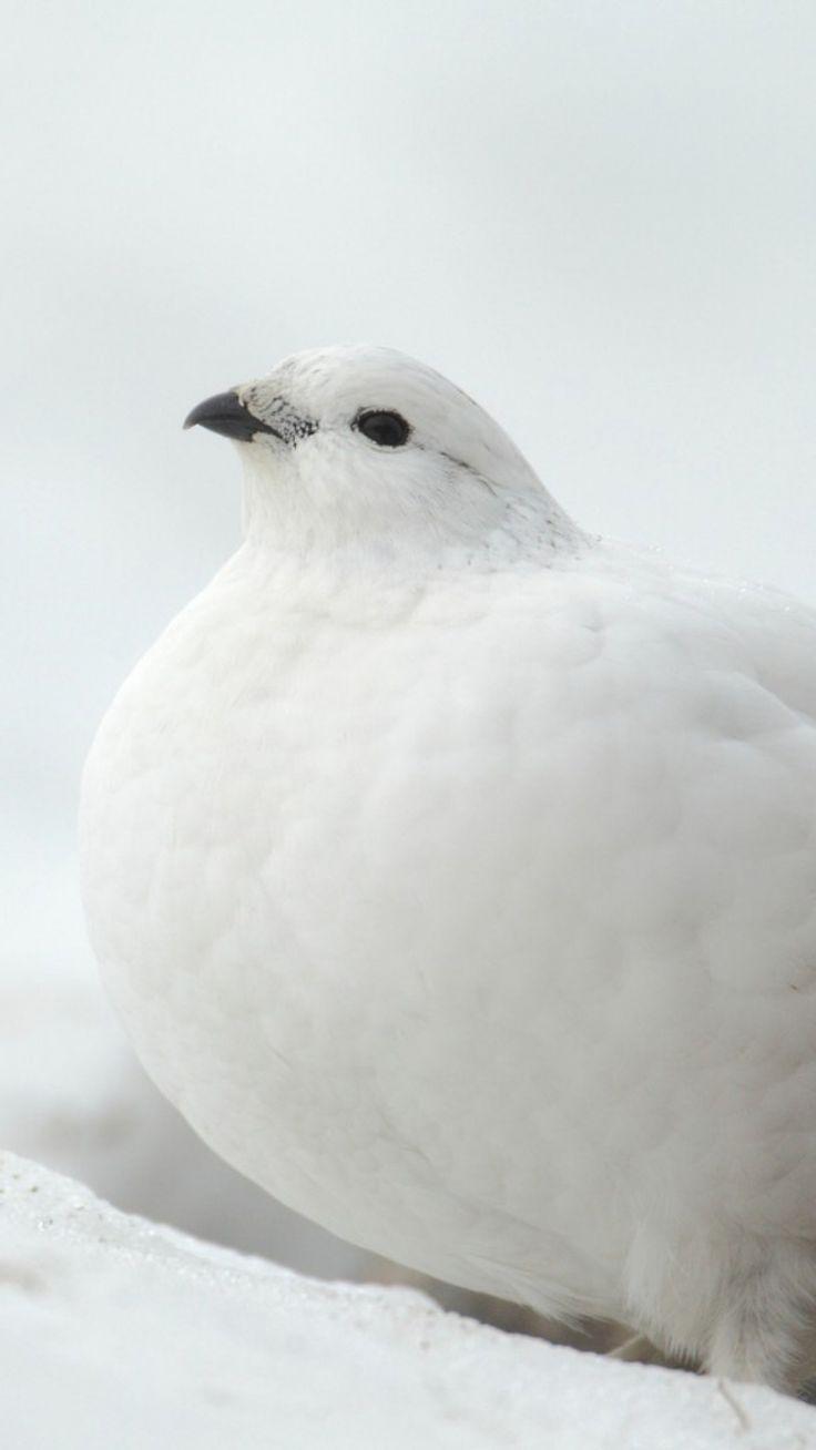 Willow Ptarmigan - Alaska - Snow Bird