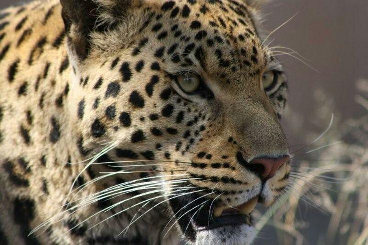 Leopard in a not so friendly mood