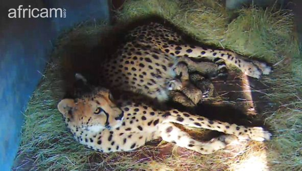Cheetah mother Meg, has just given birth to four cubs at the Hoedspruit Endangered Species Centre (HESC), in an attempt to keep the rare king cheetah gene alive for future generations.