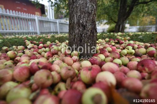 "Download the royalty-free photo ""Many fallen organic apples under a tree, autumn season, Sweden"" created by Ciaobucarest at the lowest price on Fotolia.com. Browse our cheap image bank online to find the perfect stock photo for your marketing projects!"