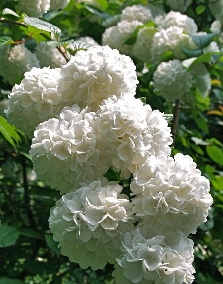 Tree-size Snowball Viburnums, Grandma Irene had a snowball bush right by her back door!  Love that memory.