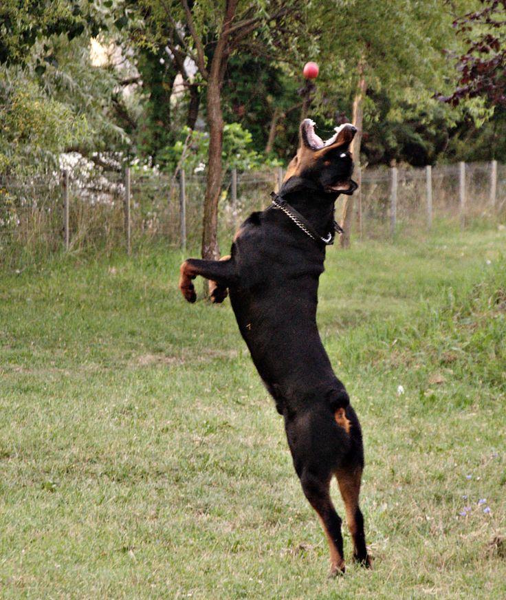 "#Rottweiler. ""I'll catch it!"""