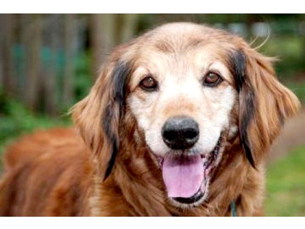 """This good-natured goldie, who currently resides at the Seattle Humane Society in Bellevue, Wash., loves showering her humans with attention. """"[She] is waiting to greet you with lots of tail wags!"""""""