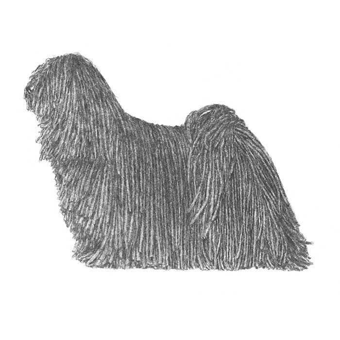 The Puli breed standard illustration.