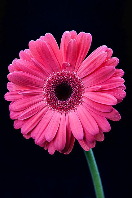 Gerbera Daisy / pink against  black