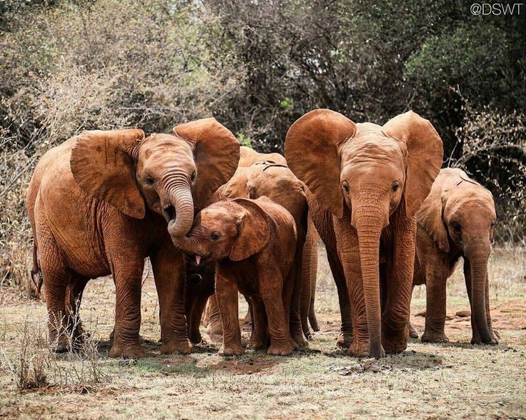 From :@dswt - Trump has put a hold on his administrations plan to lift the ban on trophy imports from elephant hunts and it was YOU who made him do it! To each and every person who voiced their outrage at the ban reversal: Thank you. You made this hold happen and now we must keep the pressure on to that ensure logic prevails. Elephants face a plethora of threats to their survival and we are doing so much to mitigate these threats but hunting will not save them. Theres still a long way to go…
