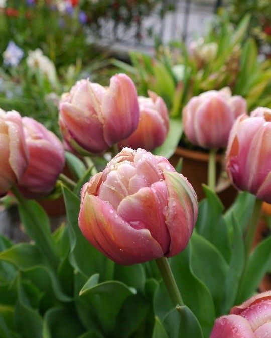 A groundbreakingly different tulip with a stunning blend of apricot-pink and coffee petals fading to the edges reminiscent of a different era. Ht 45 cm