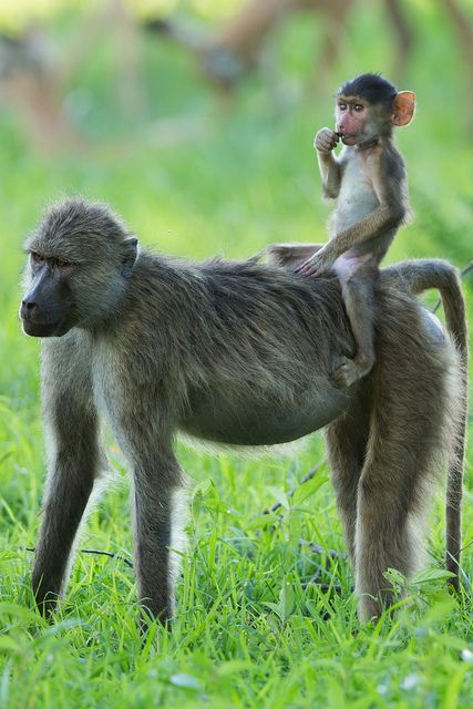 On Zambia Safari, young baboon hitching a ride horseback style