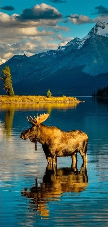 Moose warming after bath at Moraine Lake in Banff National Park in Alberta, Canada