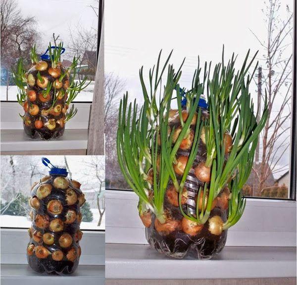 coltivare cipolle in casa