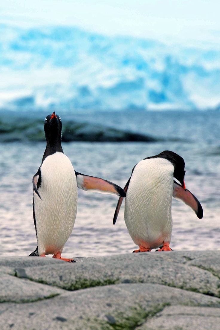 43 best images about sea bunny on pinterest bunny slippers slug and - King Penguin Animal Kingdom Penguins Pinterest Account Feather Fun Stuff Ipad Photography Love