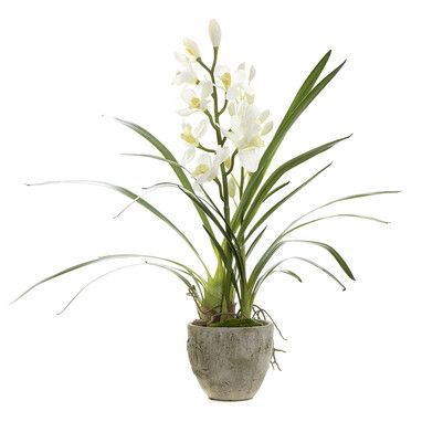 Cymbidium Orchid In Pot | Green & White | 80x20cm | French Florals @ The Home