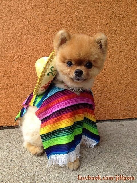 41 Best Cinco De Mayo Pets Images On Pinterest Chihuahua