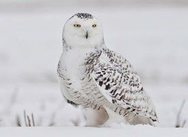 Snowy Owl - Cornell Ornithology Lab