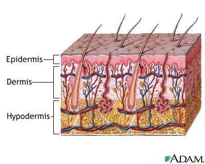 Skin Anatomy 101: The Basics