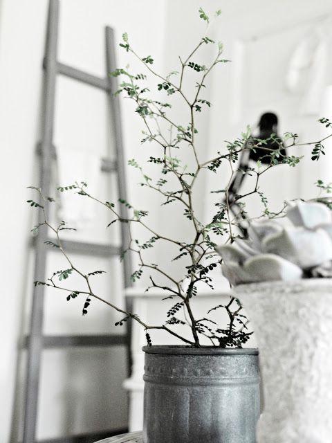 Sophora Prostrata 'Little Baby' - zig zag branches