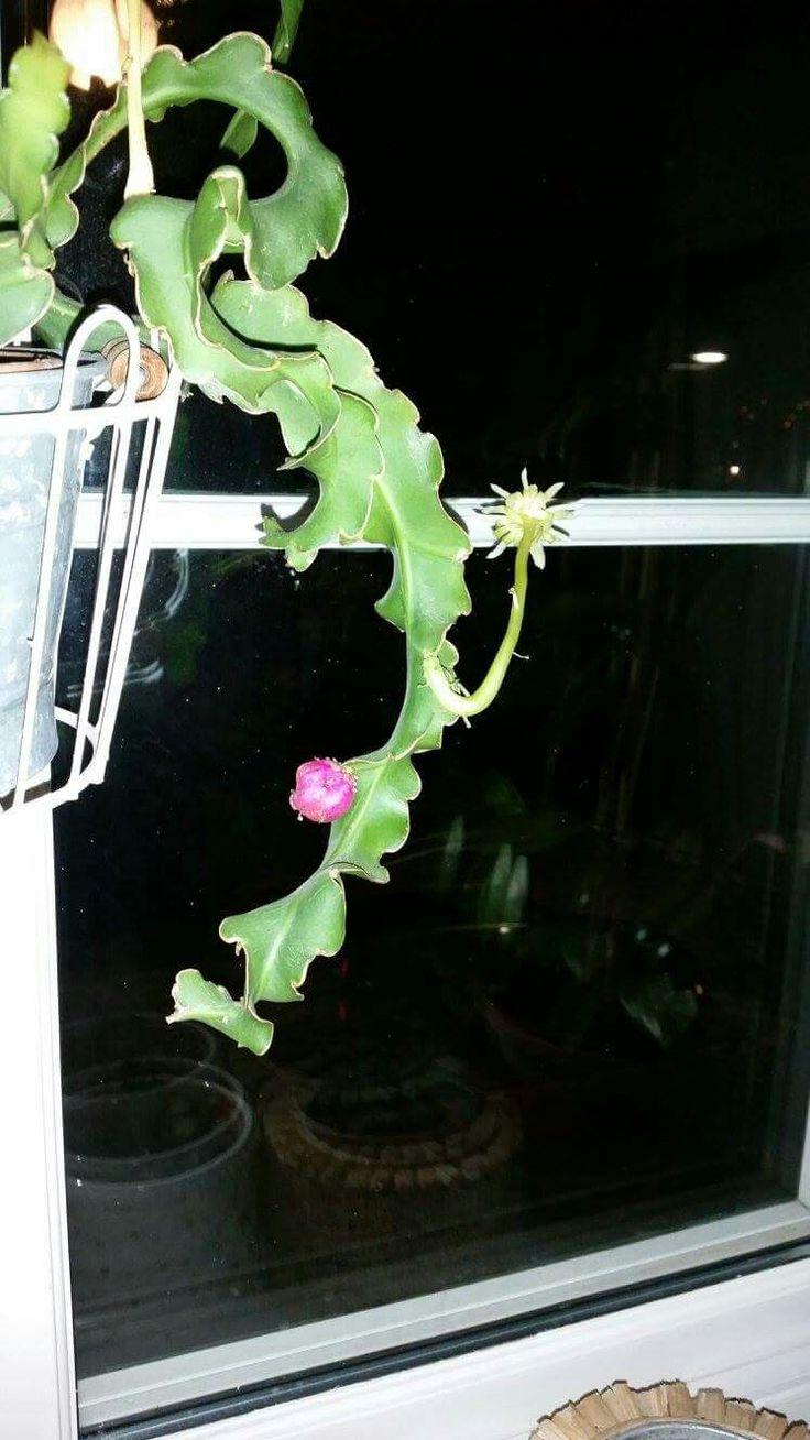 Epiphyllum Guatemalense Curly Kai