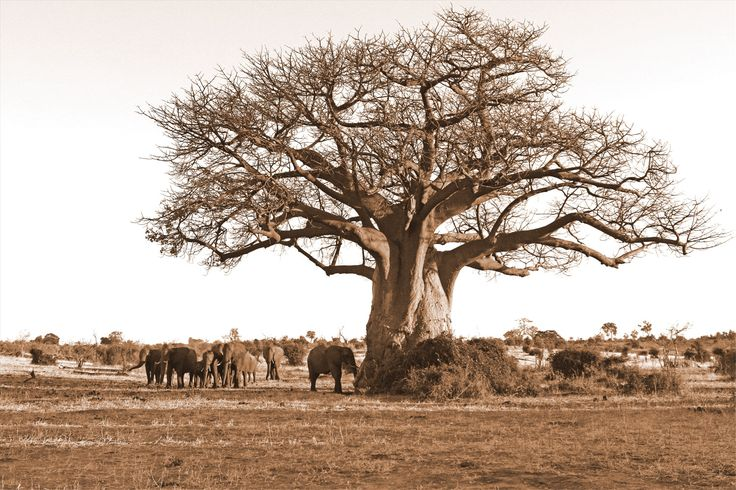 A magnificent Baobab Tree dwarfs a herd of Elephant on the banks of the Chobe River.