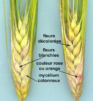 Barley | My Remedy's | Pinterest