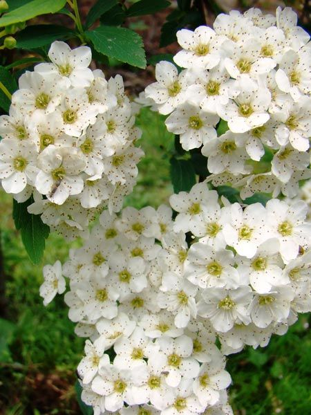 35 best images about spirea on pinterest sun deer and for White flowering bush