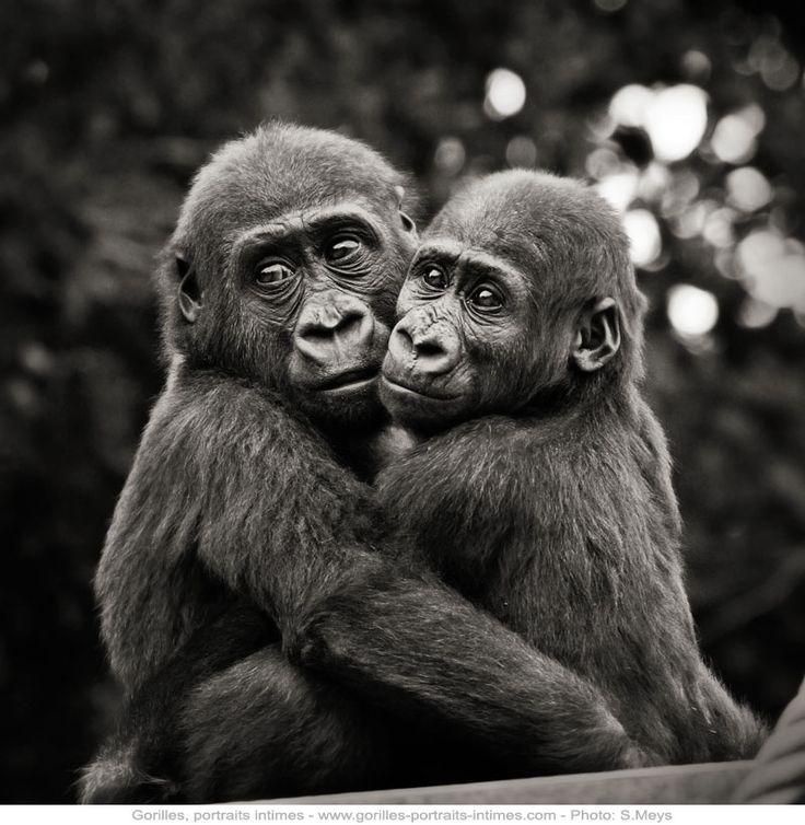 _MG_4700 © Gorilles Portraits intimes de F.Perroux & S.Meys, Editions Le Pommier 2012 Photo S.Meys-1