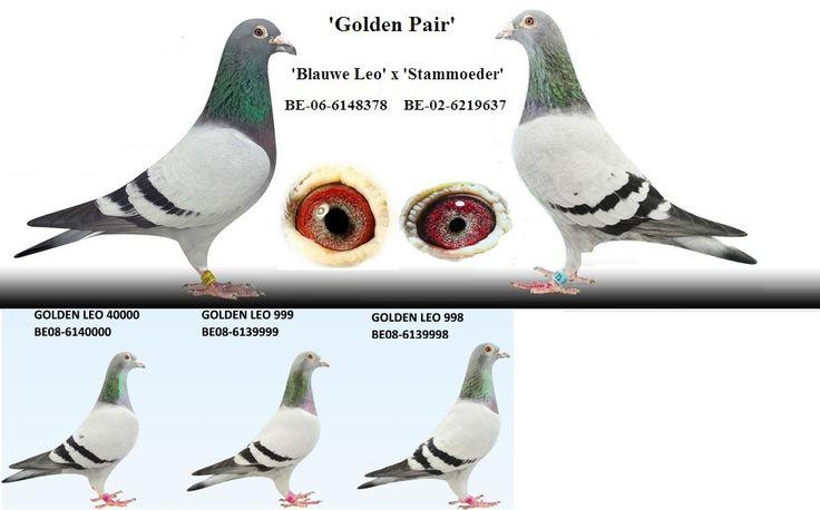 Dirk van den Bulck Pigeons te Grobbendonk