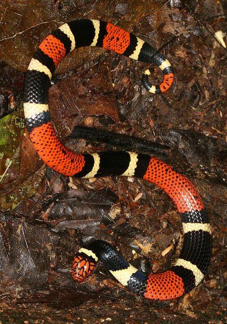 Aquatic Coral Snake (Micrurus surinamensis) by cowyeow, via Flickr