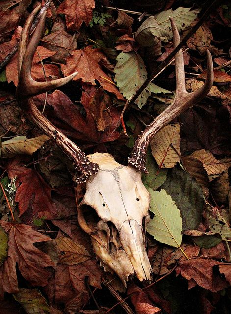 Autumn. Fallen leaves and stag's skull. The Stag, who represents the horned fertility God, has symbolically decomposed along with the autumn leaves as nature shows no sign of life until the next green spring when new deerlets are born, and the cycle of life picks up again.
