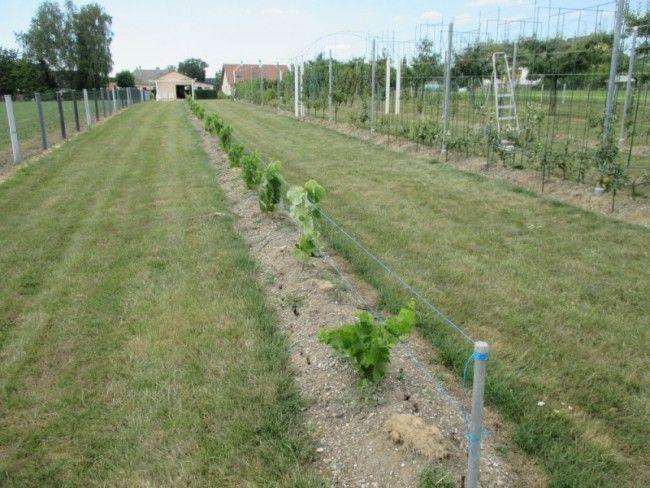 comment planter de la vigne