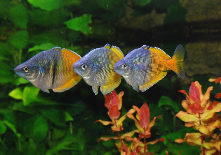 "Boesemani Rainbowfish: good larger fish for a smaller tank.  They grow to about 4"" long and should be kept in groups of 5+, in a 30g or larger tank,"