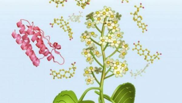 """Μια χημική ουσία που βρίσκεται σε ένα κινεζικό βότανο με το όνομα """"thunder god vine"""", ένα φυτό που χρησιμοποιείται στην παραδοσιακή κινεζική ιατρική για τη θεραπεία διαφόρων παθήσεων, όπως η φλεγμο..."""