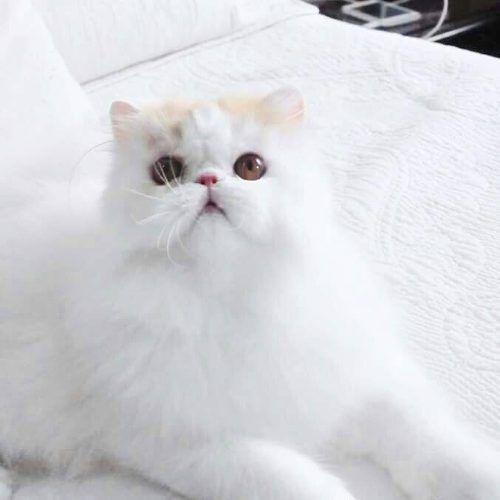 Gato Persa En Venta Por Cierre De Criadero - $ 10.500,00