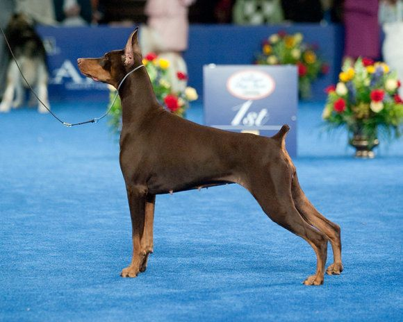 Westminster Dog Show vizsla winner best in show | did you watch the westminster dog show last night i try to catch it ...