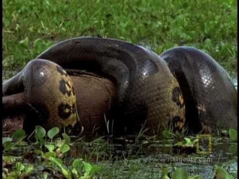 When you're an anaconda you don't need venom to take down your prey, even if its…